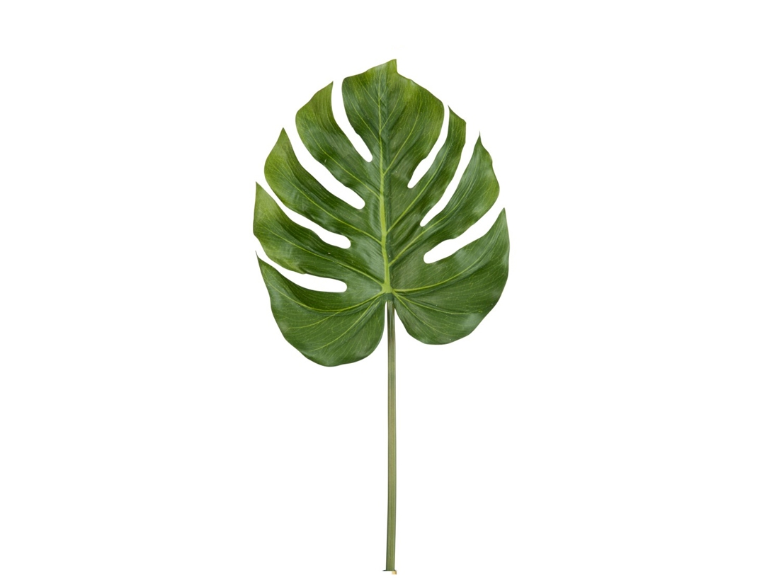 Philodendron 60077